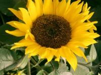 sunflowerL3