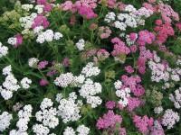 Achillea-millefolium-Summe3