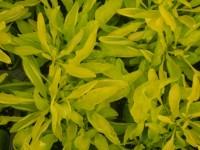 Alternanthera True Yellow