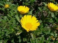 Asteriscus_maritimus_flowers