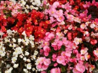 Begonia-Challenger-Mixed-07090080_360_360_cy_c_c_0_0_100