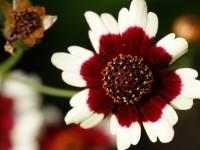 Coloropsis_Jive2-