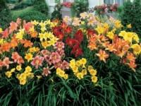 Daylilies-Mix