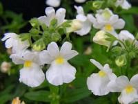 Nemesia aromatica white