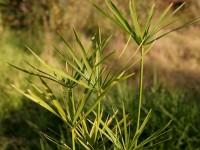 Papyrus_plant