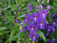 angelonia_381_small