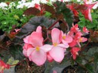 begonia_richmondensis