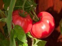 brandywine-tomato