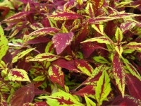 coleus splash