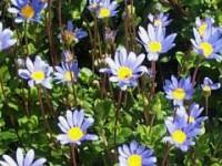 felicia blue