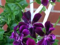 geranium ivy single purple