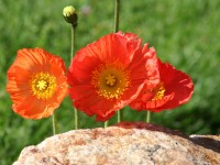 iceland-poppies