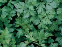 italian-parsley-m