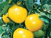 lemon-boy-tomato-main-m