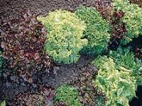 lettucebistrosaladmix