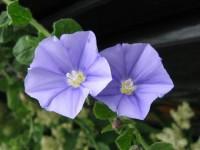 morracan blue
