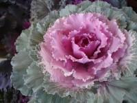 ornamental_cabbage