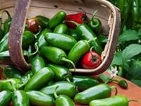 pepper-jalapenohot-m
