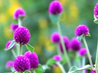stock-footage-purple-flowers-gomphrena-globosa-pal-version