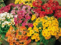 unbranded-nemesia-sundrops-mixed-plants-pack-of-20