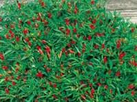 vegetable_thai_hot_pepper_plants